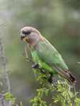 Title: brown headed parrot