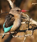 Title: brown-hooded kingfisher