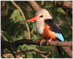 Title: grey-headed kingfisher