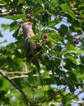 Title: redfaced mouse bird