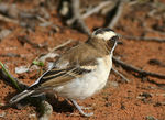 Title: White-browed Sparrow-weaver