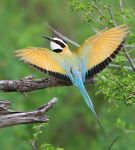 Title: white throated bee eater