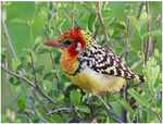 Title: red and yellow barbet