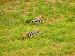 Title: Two Hoopoes