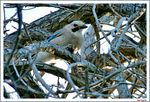 Title: A Jay on bare tree