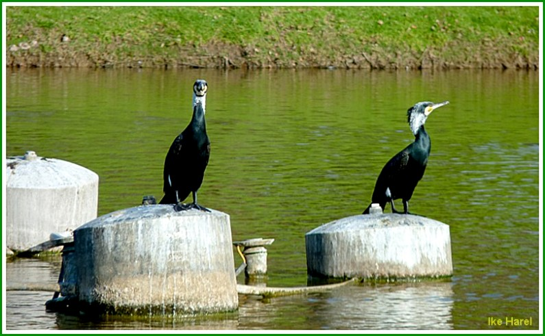 Black cormorants #8