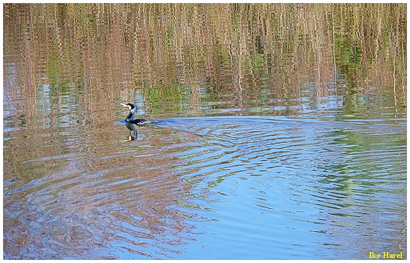Cormorant with reflection