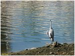 Title: Grey Egret on estuary