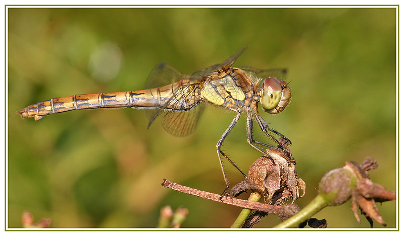 Not shy Dragonfly
