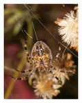 Title: *Just another Garden Spider..*