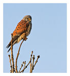 Title: *Common Kestrel (male)