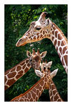 Title: *Giraffes Crossing*