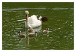 Title: *I had baby swans too*