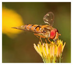 Title: * Hoverfly *