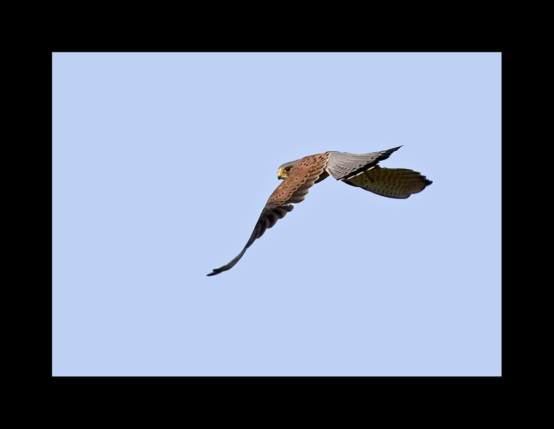 *Common Kestrel*