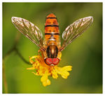 Title: *Hungry Hoverfly* Camera: Canon EOS 40D