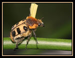 Title: ~Bee Beetle~ Camera: Canon EOS 20D