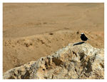 Title: White-crowned Wheatear