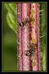 Title: *Aphids & Ants*