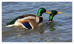 Title: *Duck-Fight*