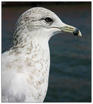 Title: *Ring-billed Gull*