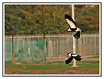 Title: Pair flying