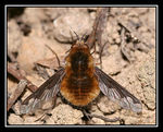 Title: Major bee-fly (Bombylius major)