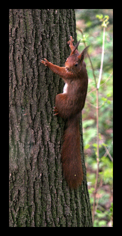*Red Squirrel*
