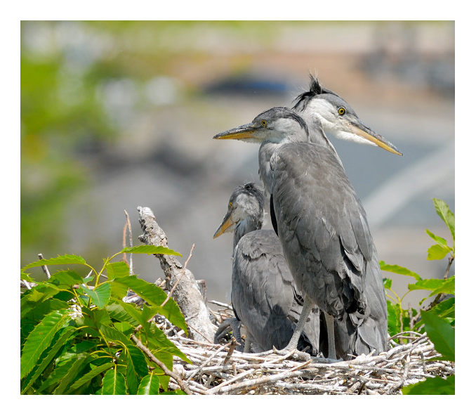 3 Heron Chicks