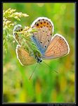 Title: silver-studded blue