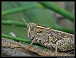 Title: Red Wing Grasshopper