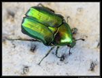 Title: Olivegreen Flower Chafer