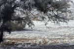 Title: mesquite touched in frost