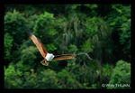 Title: Brahminy Kite in Phuket