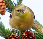 Title: American Goldfinch