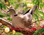 Title: Dove at Nest