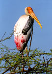 Title: Painted Stork
