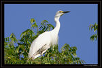 Title: Intermediate Egret