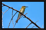 Title: Small  Green Bee-eater