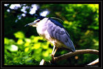 Title: Black-crowned night-heron