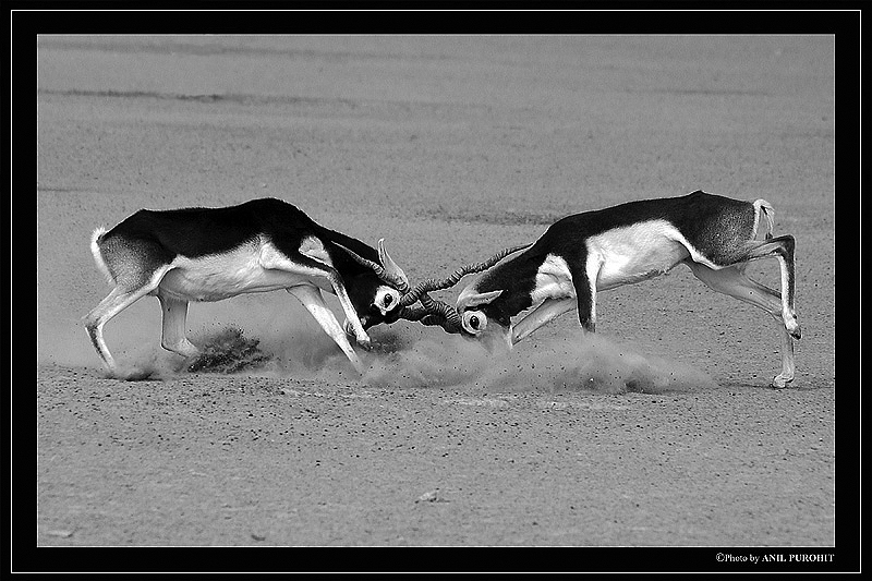 Male blackbucks fighting