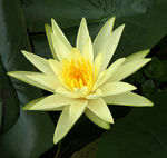 Title: Yellow Water Lily