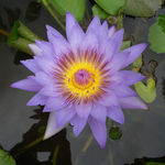 Title: PURPLE WATER LILY