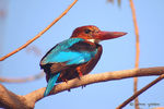 Title: White-breasted Kingfisher