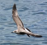 Title: seabird flying