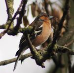 Title: Chaffinch