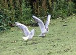 Title: Gull Fight