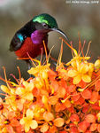 Title: Purple-Throated Sun Bird