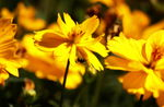 Title: yellow cosmos and bee