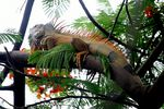 Title: Day of the Iguana